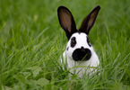 Les maladies frustres du lapin