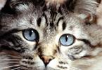 Le vieillissement chez le Chat