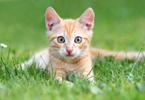 Les races de chats