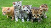 La reproduction du chat