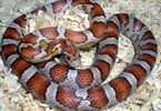 Le serpent des blés