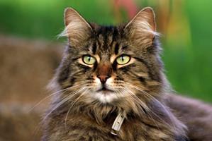 Les parasites internes chez le chat