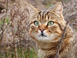 Calculs et lithiases urinaires chez le chat