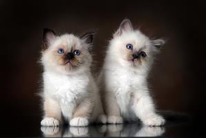 Quiz sur les races de chat