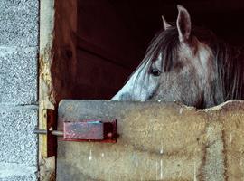 Les tics du cheval