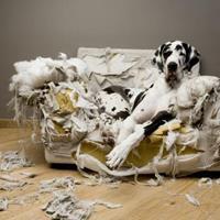 Votre chien détruit tout ce qu'il trouve en votre absence ? Que faire ?