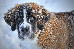 Le chien et l'hiver