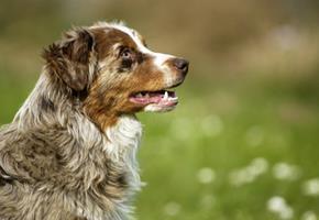 Les Maladies Inflammatoires Chroniques de l'Intestin (MICI) chez le chien