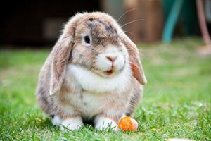 Les maladies frustes du lapin