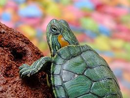 Les tortues d'eau