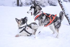 Emmener son chien à la neige